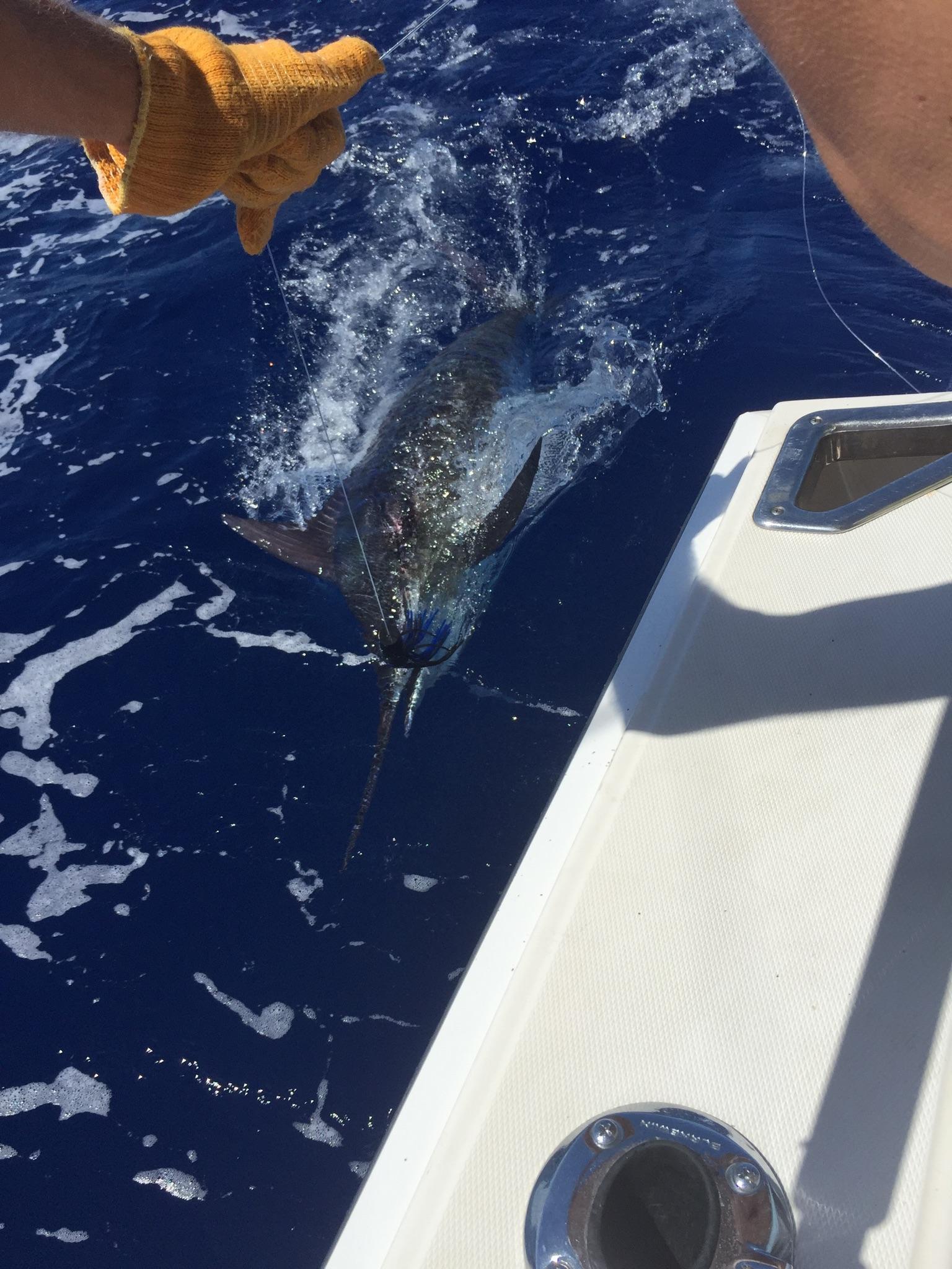 Blue marlin 1