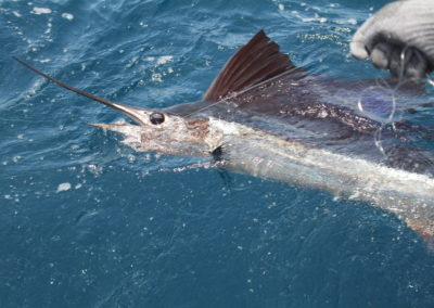 Sailfish-Release