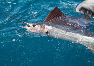 Sailfish-Release-2