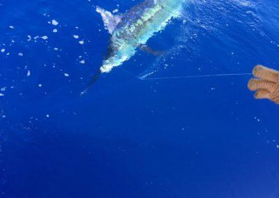 blue-marlin-3