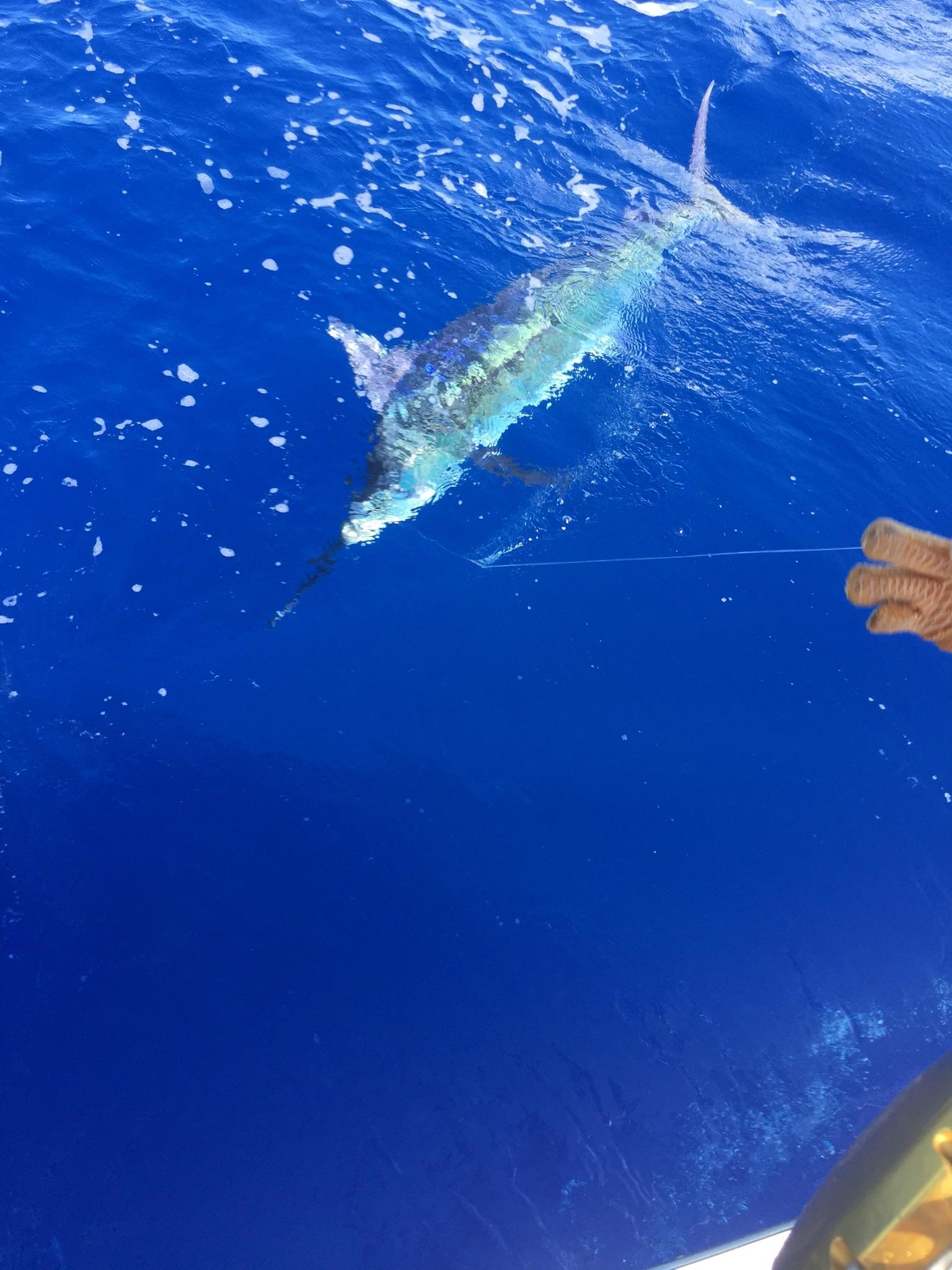 blue marlin 3