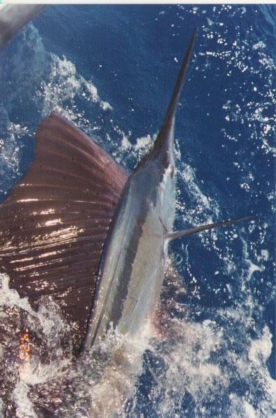 sailfish2_jpg
