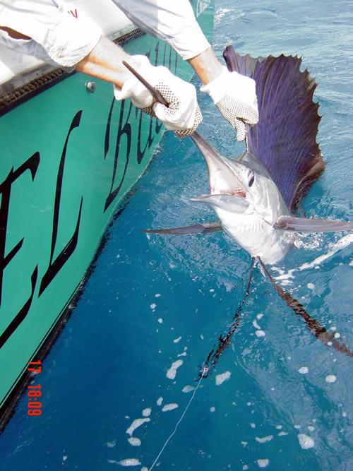 Sailfish stuart fl charter fishing reel busy charter for Stuart fishing charter
