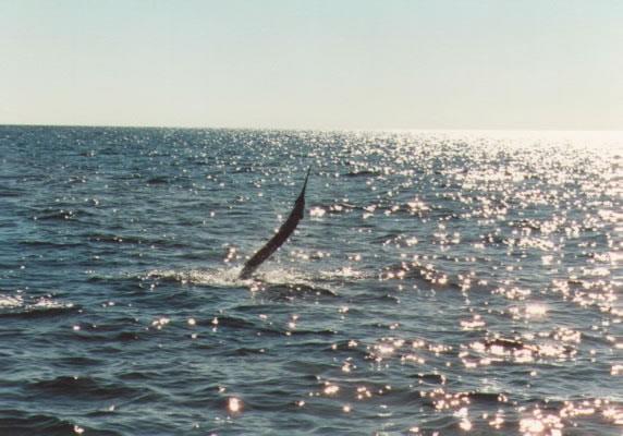 sailfishaway_jpg