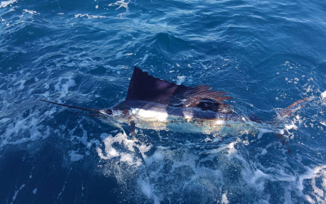Sailfish / Dolphin Getting Better